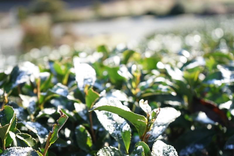 茶畑の宿土里風雪の風景